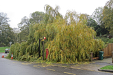 Willow Tree blown down